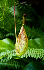 pitcher plant, nepenthes, monkeys cup