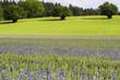 Kornblumen im Weizenfeld, Bayern