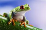 Fototapety Tree frog