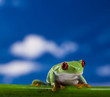 Red eye frog and blue sky