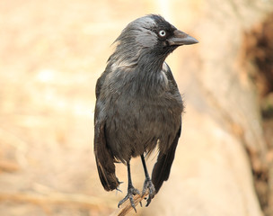 Black raven close-up