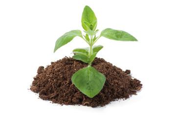Oregano sprout growing
