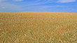 Wheaten field and blue sky. Camera movement