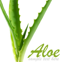 green plant of aloe