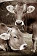 mucche vintage