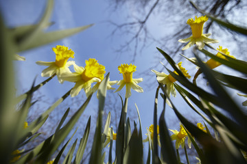 Low angle view of yellow daffodils against blue sky