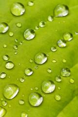 Macro hosta leaf with raindrops