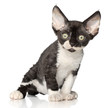 Devon-Rex kitten on white background