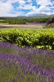 Fototapety Vignobles en Provence