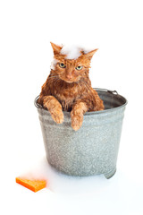 Bath time for a wet cat in a bucket with soap suds and sponge.
