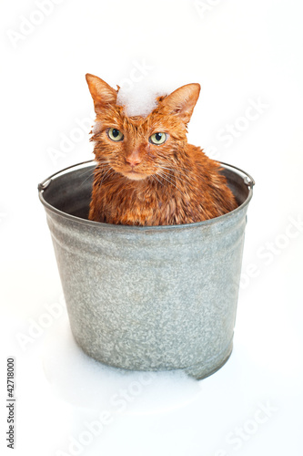 Bath time for a wet orange cat in a bucket with soap suds.