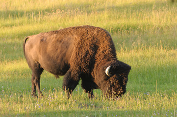 North American Bison in Yellowstone at Dawn