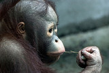 Look of little orangutan (Pongo pygmaeus)