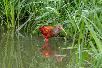 Young Scarlet Ibis, Eudocimus ruber