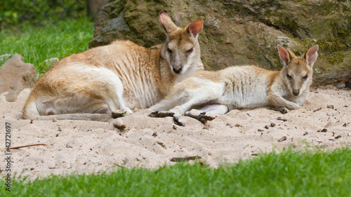 Two kangaroos resting