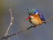 Malachite Kingfisher against a super background