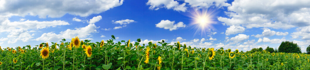 Golden sunflowers plantation.