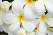 close up white and yellow frangipani flowers or tropical flower