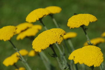 Gemeine Schafgarbe achillea millefolium Heilpflanze