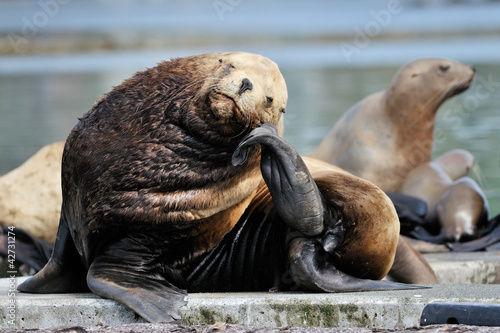 Sea-Lion resting on  his head on his tail