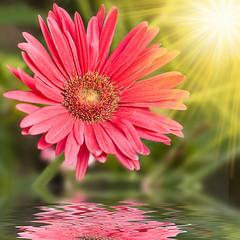 Fiore rosso riflesso