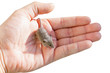 house mouse in a human hand