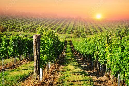 Green vineyard in South Moravia at sunrise