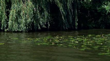 Seerose am Ufer