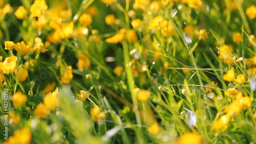 yellow buttercups and grass