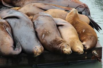 Seelöwen am Pier 39 (Fisherman's Wharf) in San Francisco