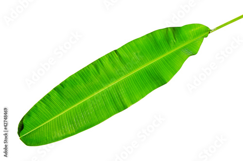 Green fresh banana leaf isolated with clipping path.