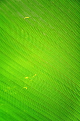 Green fresh banana leaf texture.