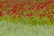 fields of poppies and wheat