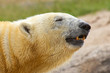 Close-up of a polarbear in capticity