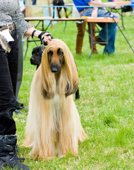Afghan hound standing  proud  at dog show ground.