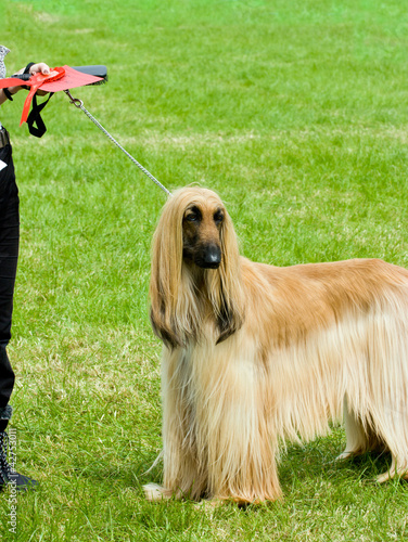 Afghan hound wins first place at dog show.