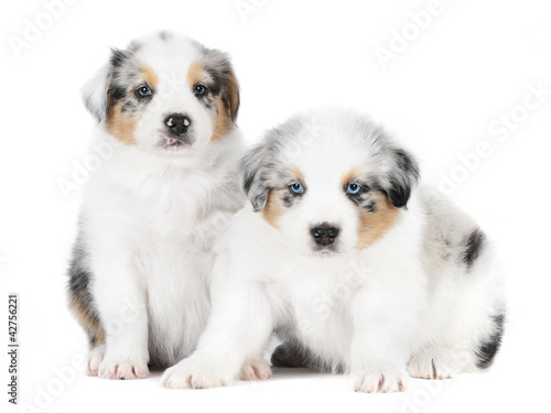 Two australian shepherd dogs in studio