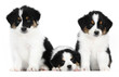 A group of three australian shepherd puppies