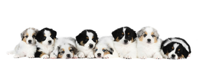 A group of eight australian shepherd puppies