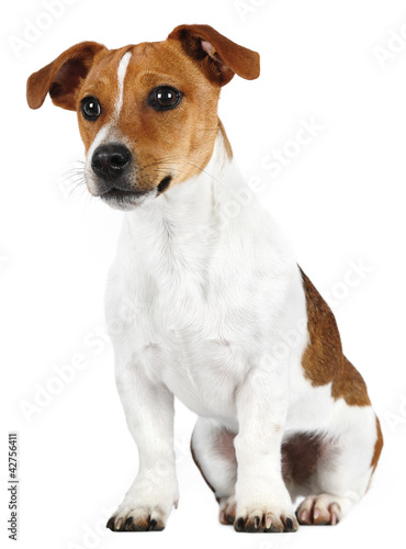 Jack Russell Terrier in studio