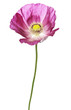 pink poppy isolated on white