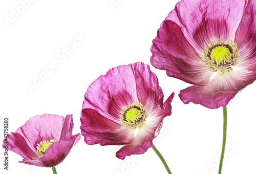 three poppies on white background