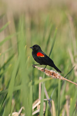 Red winged blackbird in marsh