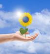 Sonnenblume mit Sonnenkollektor in der Hand