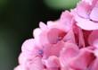 ピンクの紫陽花Hydrangea