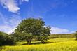 Arbre et champ de colza - Ile de Jersey