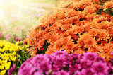 Fototapety Chrysanthemum flowers background