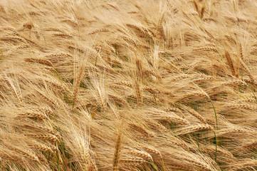 épis dans un champ de céréales.
