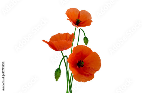 In de dag Poppy Isolated poppies on white background