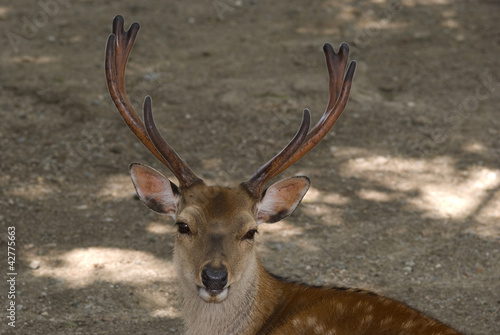 Sika deer, Miyajima, Japan